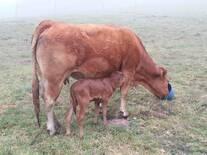 Vaca Limousin