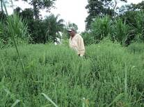 rancho ;sebastopol-2, banco de proteina a base de la leguminosa llamada  stylosanthes guianensis