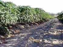 papaya maradol