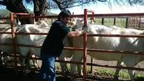 palpacion en bovinos