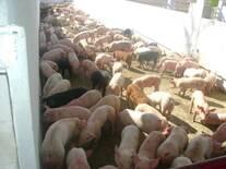 producion de lechon de granja el tarasco de AURELIO BARRIGA.