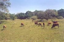 Os bovinos de Timor-Leste