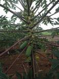 papaya morena