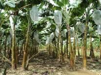 Cultivo de plátano en doble surco