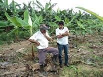 Trabajo de campo en cultivo de plátano