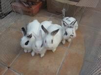 mis cuatro conejos