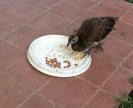 Viruela aviar Después de tratamiento Homeopático