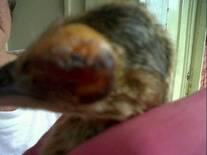 Viruela aviar antes de tratamiento Homeopático
