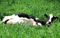 La famosa siesta de la vaca argentina