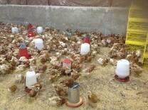 Avicultura no piso