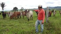 Vacas  raza Gyr - JUANJUI