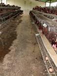 explotación de gallinas- producción huevos de consumo