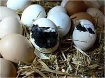 Eclosión de huevo