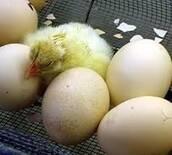huevos en eclosión