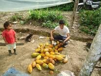 Cosecha de cacao para utilizar la semilla en vivero