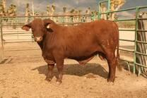 beefmaster 16 meses ganadería chacmol grupo calidad beefmaster en tamaulipas, méxico