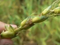 Pulgones en espiga de trigo1