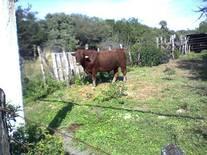 """Toro #197 de Don Demetrio Gonzalez, buscar en google como """"ganadería maratines"""" tienen excelente brangus rojo en zona de garrapata"""