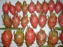 Frutos de pitahaya de una especie autoincompatible, en Puebla