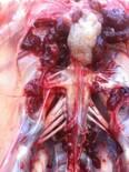 Enfermedad de Marek en reproductoras pesadas