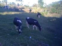 Novillas Holstein