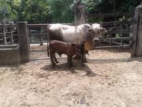 V.PARIDA F2SIMMENTAL(75%BRAHMAN-25%SIMMENTAL)