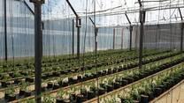 tomate hidroponia