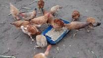 Frangos comendo pão dormido