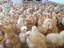 Pollos Pastoreo RR