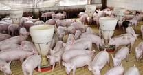 Carbonato de Calcio Consumo Porcinos
