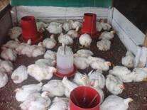 pollo sano sin ningun inconveniete a los 40 dias
