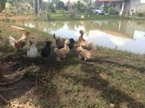Minhas galinhas