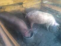 cerdos  cusquenos