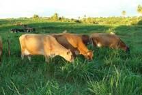 Vendo 18  vaca  de primeira e segnda cria ,Jesey PO   todas com registro ABGJ   celular 085  991999096  Antonio CarlosF de Castro    e-mail  acarlos@anne.com.br