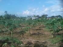 Cultivo de Papaya hawaina