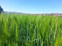 cultivo de trigo en oaxaca