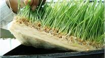 Forraje verde hidroponico de maiz