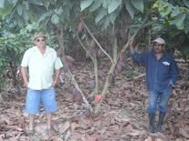 cacao cultivado en el cantón Majua provincia de Esmeraldas Junio del 2014