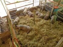 cerdos cama profunda comedero automatico.