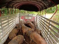 transporte cerdo
