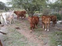 mas crias del toro 197 brangus rojo en vacas comerciales