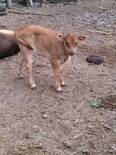 becerrita 3/4 brangus de 1 mes hija del toro 197, brangus puro