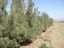 plantaciòn perimetral de pino gregy