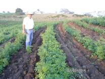 cultivo de leucaena cuninhamm,