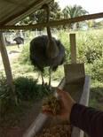 forraje verde hidropomico de maiz como suplemento en la dieta de los avestruces