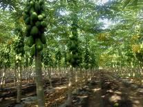 Plantacion de papaya bajo sistema de riego por goteo