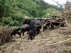 ganasal bufalos