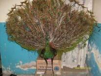 pavo real(taxidermia)
