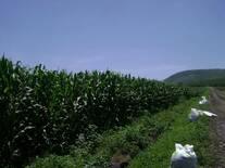fertilizacion de maiz con composta de caprino