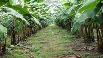 Ensayos de resistencia a enfermedades en plátano